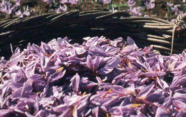 Purple harvest